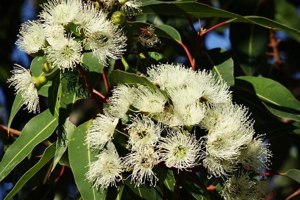 Blahovičník kulatoplodý ( Eukalyptus )
