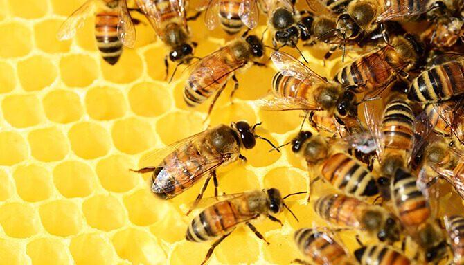Léčivý propolis – včelí zázrak